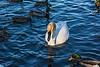 In the Spotlight - Trumpeter Swan