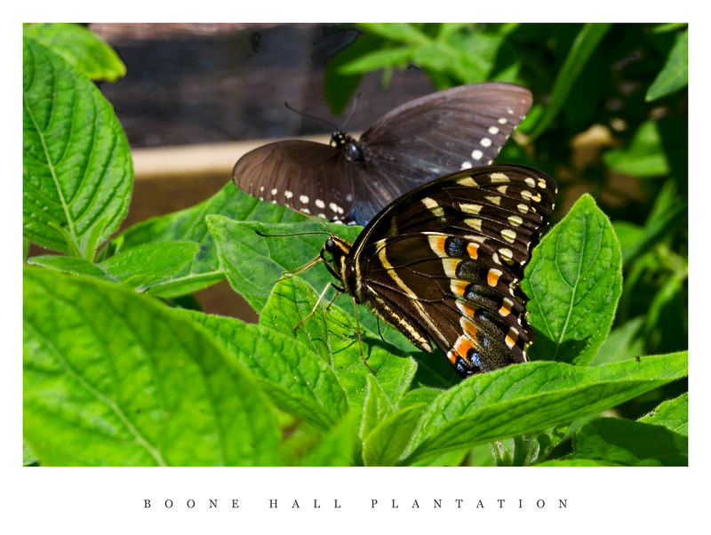Boone Hall Plantation's Butterfly House.  The first time I have used my macro lens!  Cool!