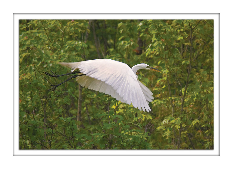 Great White Egret: Skirt of Linen<br /> 4/22/2006, worked up 4/28/2006