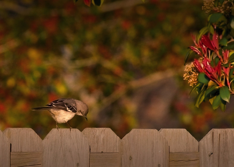 March 26, Bird On A Fence from my front yard