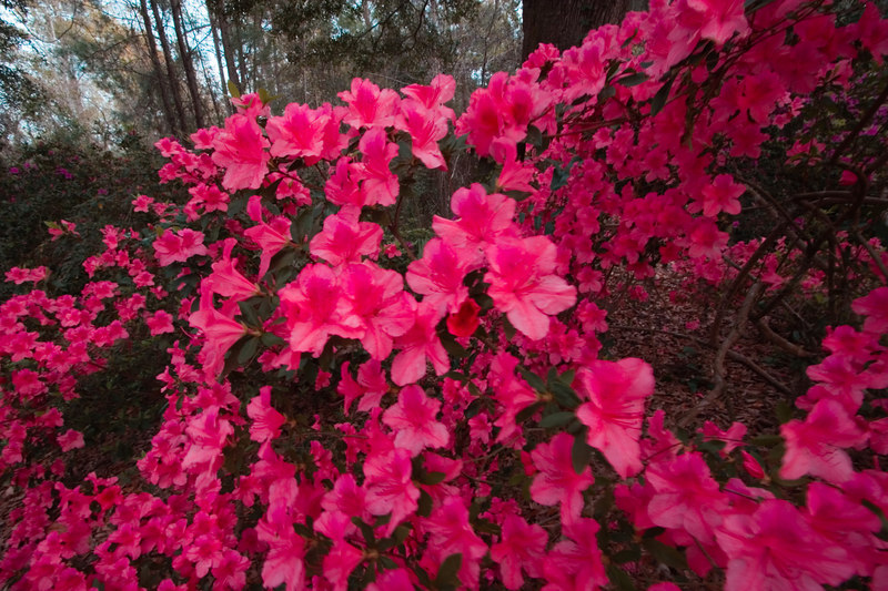 Late Afternoon, March 28, Spring Flowers at Boone Hall Plantation
