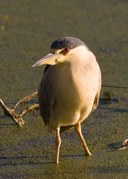 Night Heron <br /> from the Monday <br /> before last.  stayed home today.<br /> my new laptop was put together.  Phone calls were made.  And as a matter of fact, I still have a bunch of stuff to do and don'tknow when I will get out again.  But I am not a proficient typist on this yet, and it is hot.<br /> <br /> anyway, I chose a photo I had access to that was among my most recent.<br /> <br /> He was a cute little guy.  Actually, he was a little guy, there were two, the other one was much bigger.  I am not crazy about night herons, but this one was kind of cute.<br /> <br /> ginger