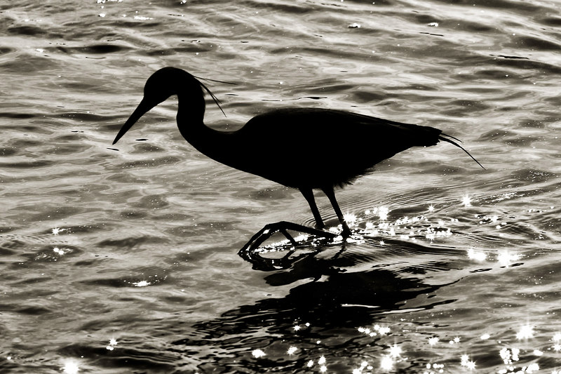 """FOOTPRINTS<br /> <br /> Little Blue Heron<br /> Dressed in a duotone <br /> he fishes at Pitt Street Bridge<br /> with sparkling footprints <br /> kissed by the sun.<br /> 3/19/2007<br /> <br /> <br /> <br /> The same photograph <br /> in color.<br /> I like them both, <br /> choosing just one was<br /> too difficult.<br /> <br />  <a href=""""http://upacreekphotography.smugmug.com/gallery/2462906/1/137319418/Large"""">http://upacreekphotography.smugmug.com/gallery/2462906/1/137319418/Large</a>"""