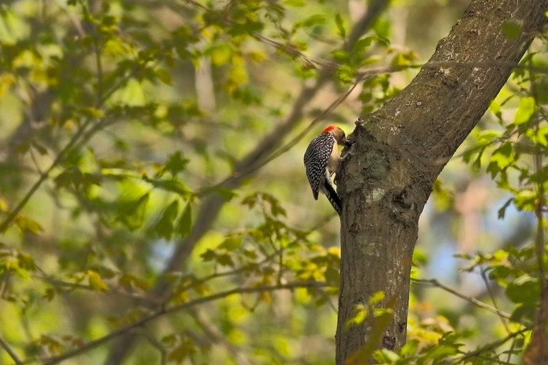 Woodpecker On The Edisto Trail<br /> South Carolina