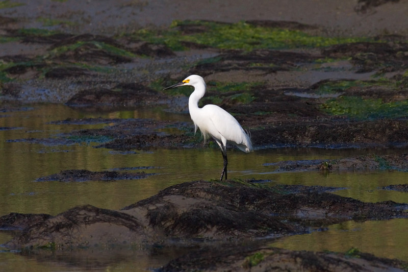 Snowy Egret<br /> Pitt Street Bridge Series<br /> <br /> by ginger<br /> (It was natural, it is in other photos from that day and the day before.  Very low tide, tidal pools, mud, green stuff.  All natural, tricky lighting.)<br /> <br /> <br /> Gosh, thanks all.  I saw an unusual egret shot on dGrin's egret fest, I have nothing with which to do an egret like that, but it inspired me to stay up til 4 AM trying out egret shots with dark backgrounds.  I do like this one best.  <br /> Thank you, though!!!<br /> ginger