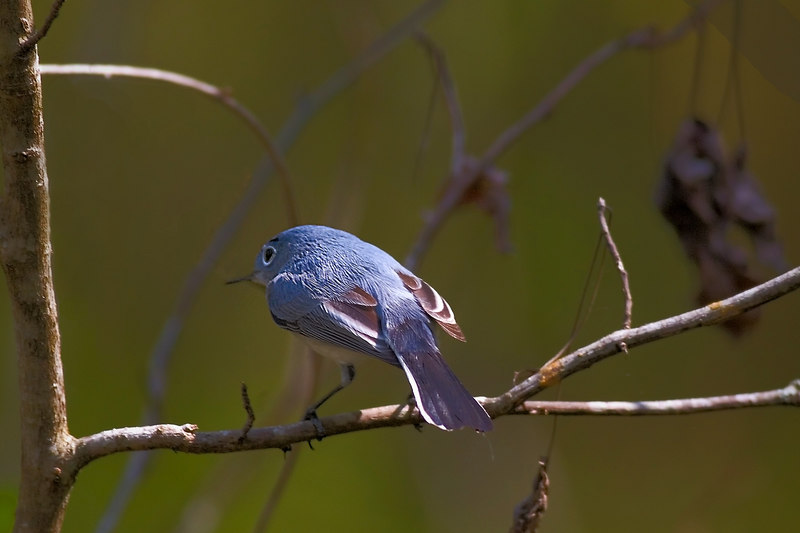 the first bluebird I have ever seen, and the best shot I could get.<br /> <br /> ginger