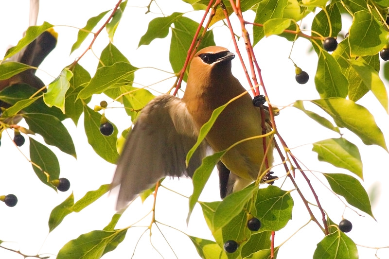 "Cedar Waxwing<br /> Boone Hall Plantation<br /> <br /> <br /> The only thing more you might want is TWO Cedar Waxwings:<br /> <br /> <br />  <a href=""http://upacreekphotography.smugmug.com/gallery/2462906"">http://upacreekphotography.smugmug.com/gallery/2462906</a>"