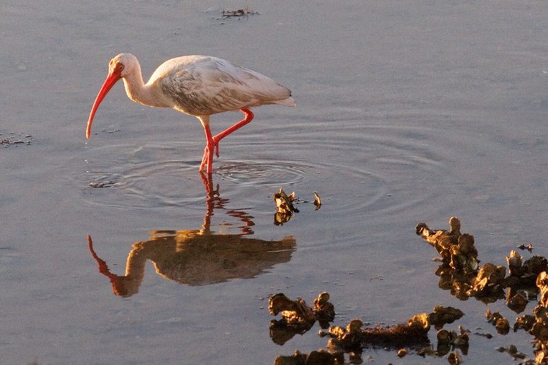 Ibis and Oyster Shells<br /> for Sunday