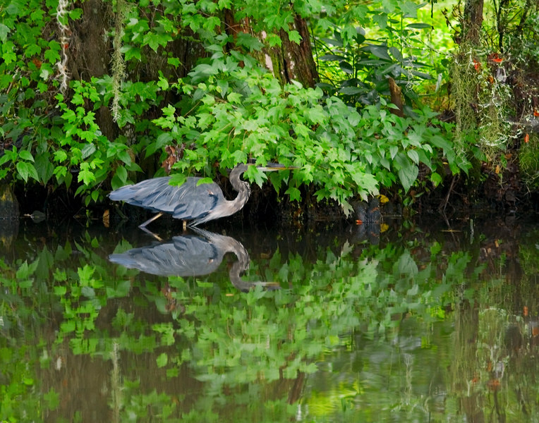 Great Blue Heron In Camouflage Mode.<br /> Taken 9/4 for Thurs/today!