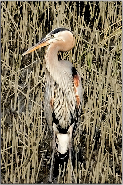 I Call Him Totem!  He Sits By The Creek...........probably hoping all the people would go away!  Periodically he comes down and fishes.  Great Blue Heron<br /> 9/9/2006