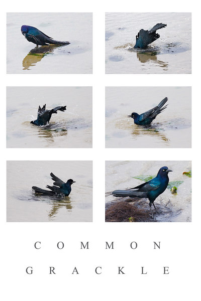 "Common Grackle<br /> last Sunday<br /> for Friday<br /> (From itch to bath to beauty)<br /> <br /> The Common Grackle is like a woman who appears plain: photograph the bird and the beauty shines.<br /> <br /> have a nice day, ginger<br /> <br /> The Individual photos are each good and would stand alone.  Thanks to Kim, I knew how to size<br /> this, so the work up was less<br /> work today, and I think the <br /> result was better.<br /> <br /> Please see:<br /> <br />  <a href=""http://upacreekphotography.smugmug.com/gallery/2342174/5/122584395"">http://upacreekphotography.smugmug.com/gallery/2342174/5/122584395</a>"