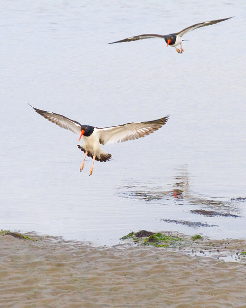 Oyster Catchers Fly<br /> <br /> we are driving home tomorrow!<br /> see ya then!<br /> <br /> ginger
