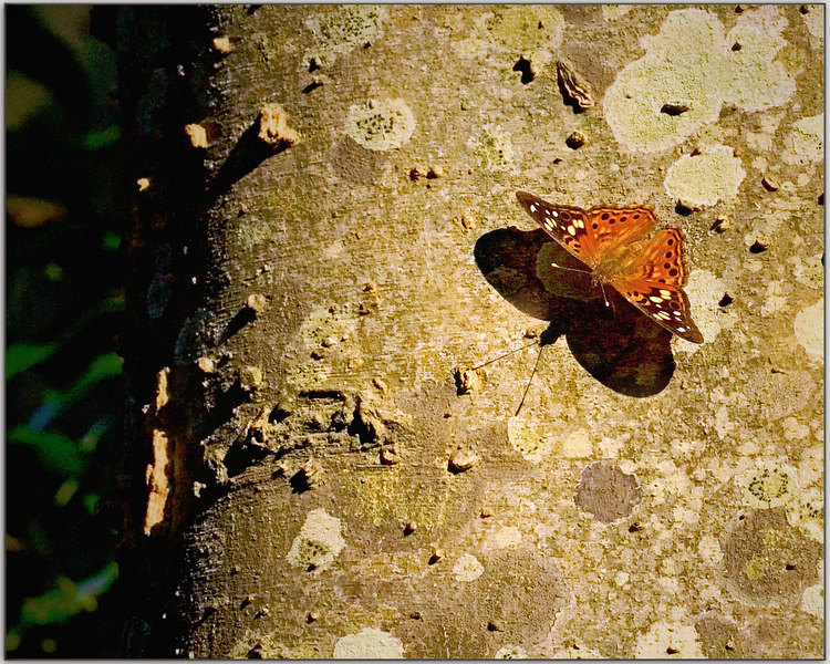 "Late Afternoon Walk through the woods<br /> 9/1/2006<br /> <br /> <br /> Please see my other butterfly shot, I chose this one, I wanted the feel of the tree, but the other one is ""more"" butterfly.  <br /> <br /> <br /> <br />  <a href=""http://upacreekPHOTOGRAPHY.smugmug.com/gallery/1842530/1/92312162"">http://upacreekPHOTOGRAPHY.smugmug.com/gallery/1842530/1/92312162</a>"