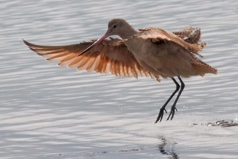 Marbled Godwit<br /> for Saturday<br /> <br /> Winter Resident of the coast<br /> according to my book.<br /> <br /> have a good day, ginger
