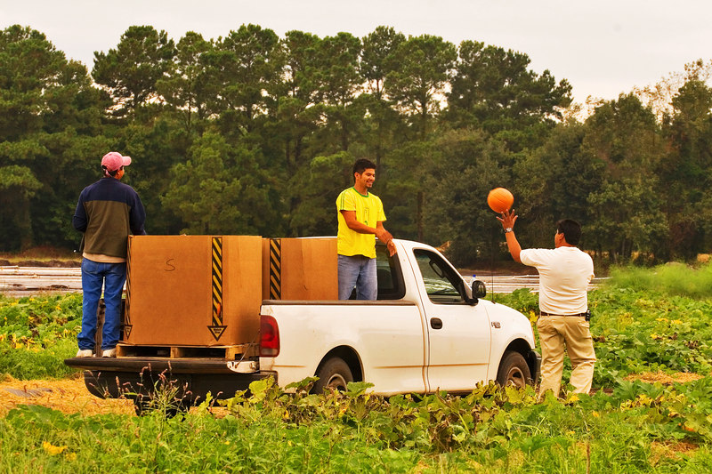 The Great Halloween Deception<br /> <br /> Planting Pumpkins in south carolina......<br /> 10/8/2006 for Tues.<br /> <br /> See, They are bringing pumpkins in in trucks, then putting them on the ground like they grew there.  I thought it was funny!  Happy Halloween.<br /> <br /> ginger  (they are all the same size, too) Also, they were not open yet and did not want us there....but they forgot and left the gate open.  (The Halloween Scam?)  At least, there is no cover up that I know of, smile.<br /> <br /> That uploaded VERY fast, thank you smugmug elves!