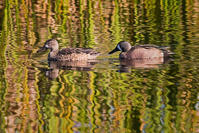 Ducks, blue winged teal<br /> for Saturday.<br /> <br /> (Msrch grss as background)