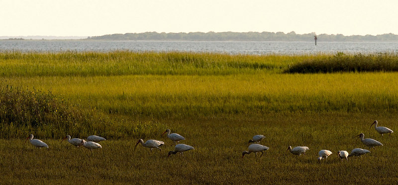 Ibis At Low Tide<br /> worked up 9/24 for Monday<br /> Pitt Street Bridge Series