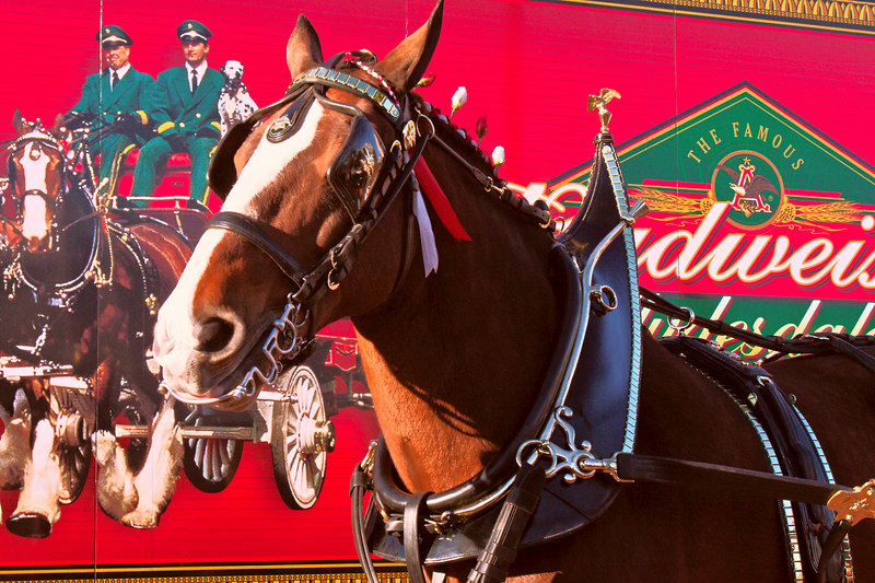 "The Budweiser Horses HERE in <br /> Charleston.  I was so excited <br /> that I forced myself to go see<br /> them in freezing temps.  They <br /> ""got dressed"" and did a parade<br /> in Charleston.  I guess it was <br /> contrasty when they were getting<br /> dressed.  I am too tired to keep <br /> trying to make this look better. <br /> It is actually the best composition<br /> that I have.  Any suggestions tomorrow would be fine.  (It is colorful)  The horse is in front <br /> of the horse trailer.  I thought<br /> that was cool.  It is very crowded<br /> at these events.  I have difficulty with the busy look of crowds, so I isolated parts, left the big picture til the end.  Every photo I have tried to work up tonight has been <br /> very contrasty.<br /> I hope you can enjoy it.<br /> <br /> Sunday night they will be in the Mt Pleasant lighted parade, any <br /> suggestions would be welcome.<br /> <br /> ginger"