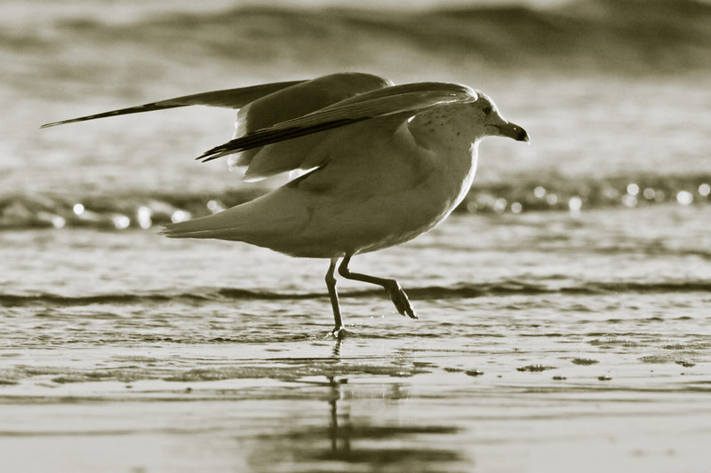 Dancing Gull<br /> by ginger<br /> <br /> for Sunday<br /> 2/4/2007