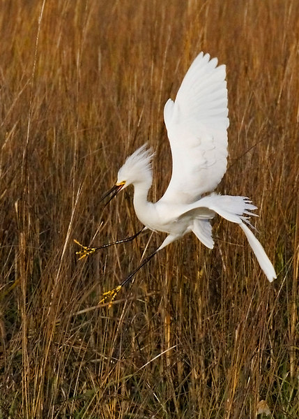 Landing In A STIFF BREEZE<br /> Snowy Egret<br /> Pitt Street Bridge<br /> 2/2/2007