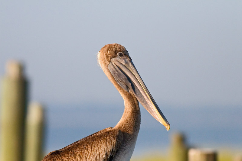 The Single Pelican<br /> taken 9/17 for Thursday<br /> <br /> (can you see the smile?<br /> Carolina pelicans are <br /> smiling!<br /> <br /> <br /> <br /> Good Night/Good Morning, and have a good one!