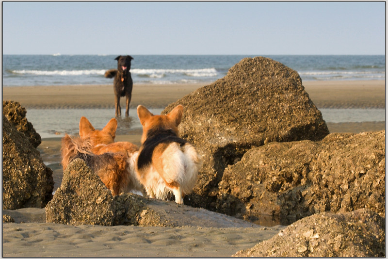 "Three Innocents See The Black Devil<br /> <br /> (8/3/2006) I couldn't get out today, I was sick.  This is from yesterday.<br /> <br /> First time my ferocious Corgis and the Yorkie were not ready to take on and terrorize another dog on the beach.  They gaze in wonder......<br /> <br /> Poor black beast probably just wanted to play, but my dogs were definitely picking up a different signal.<br /> <br /> Skye tried to take him on for the honor of the group (see water splashes as he has run to the Goliath, he came to an abrupt halt and forfeited the match)<br /> <br />  <a href=""http://upacreekPHOTOGRAPHY.smugmug.com/photos/85833484-L.jpg"">http://upacreekPHOTOGRAPHY.smugmug.com/photos/85833484-L.jpg</a>"