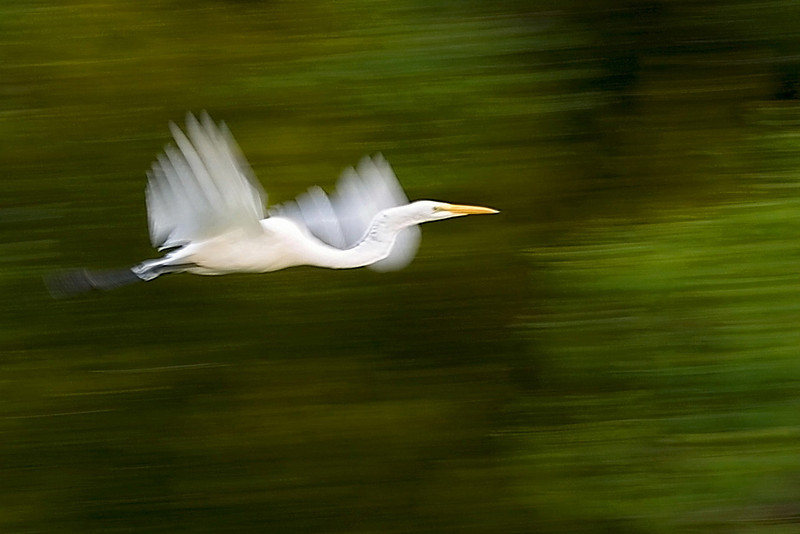 Egret In Motion<br /> 8/17/2006<br /> <br /> (If I can't get the Ibis to flock, well, egrets will fly!)<br /> <br /> Yes, I know, I don't expect a bird to win.  But then again, that is what I shoot.  No Merry Go Rounds in town til the first freezing day of fall.<br /> <br /> This is a pretty straight forward shot, I was lucky.  Then again, I shot anything that flew!  And everything.