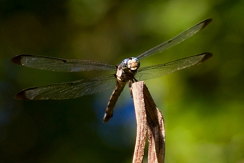 """Grandpa""  <br /> <br /> This is MY dragonfly of the year!  With my macro lens.  And, I swear that is the ugliest face I have ever seen on a dragonfly photo.<br /> <br /> Where are the eyes?  The dragons I saw last yr, no lens, but I did see dragons, they were so cute, tilted their little heads.  This one didn't like me much.<br /> A crotchety oldman, Grandpa!<br /> <br /> Look at this photo large.  I dated, then was a friend of a man who looked just like this in the face.  He died a few yrs ago.<br /> <br /> Reincarnation??  <br /> <br /> Hi there, Fred!"
