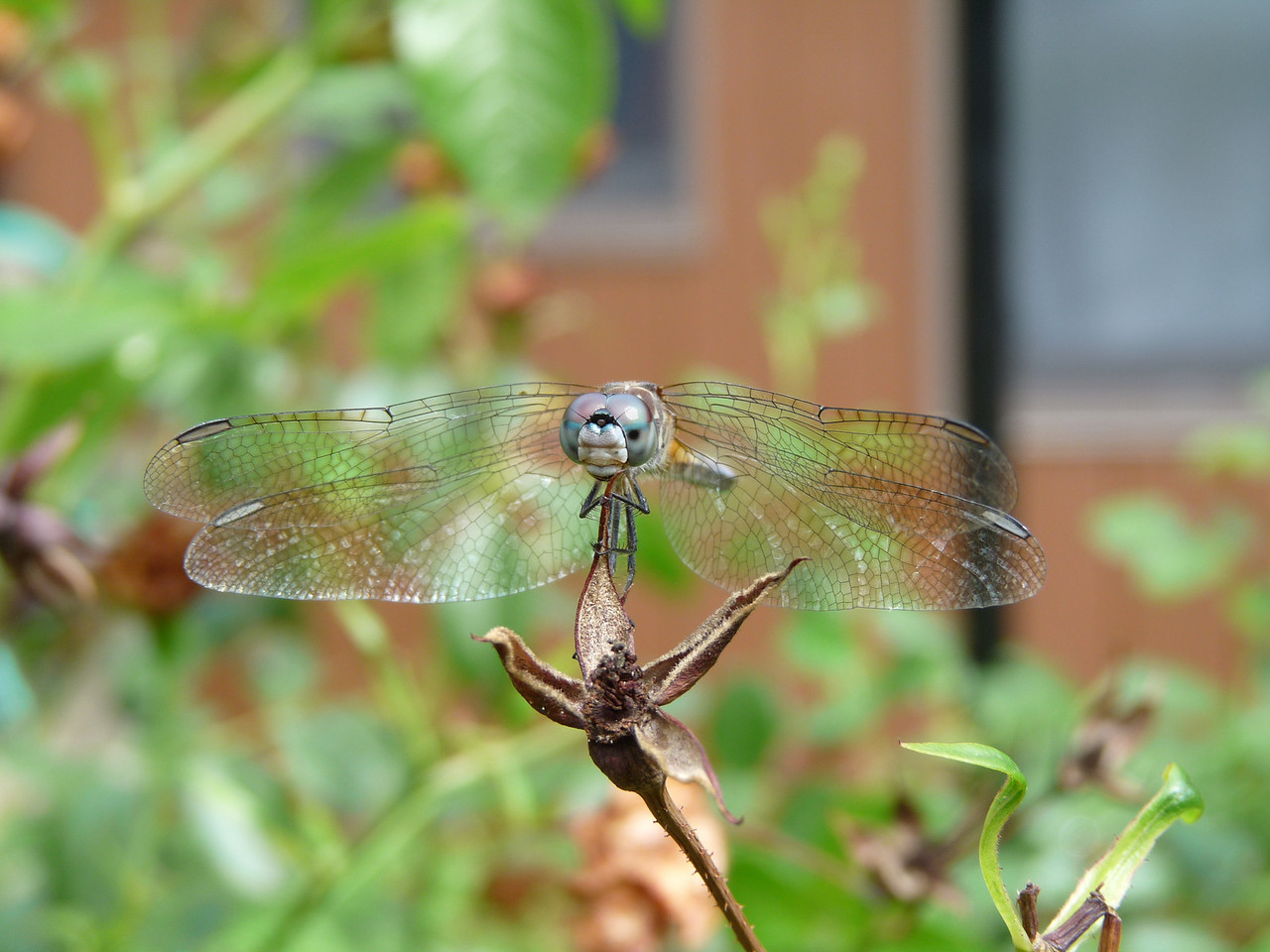 August 9, 2009<br /> I had no idea that dragon flies have so many faces....all of them quite endearing!