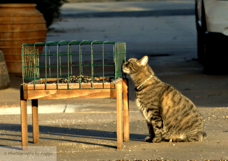 Where did the birds go?<br /> <br /> I went out toward dusk yesterday and set up to catch some birds feeding.  Here came the Tiger, my cat, so all I got was pictures of her.  They say to capture a pet in a way that illustrates personality--this is Tiger to a tee.