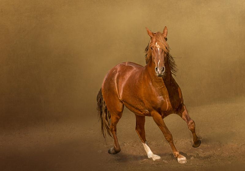 Peruvian Paso Stallion