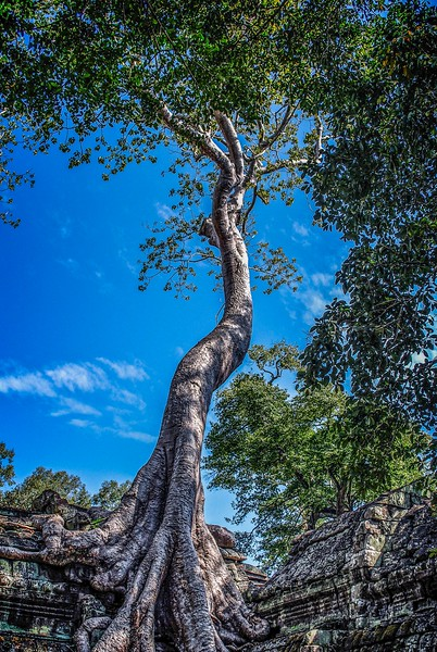 Cambodian Tree