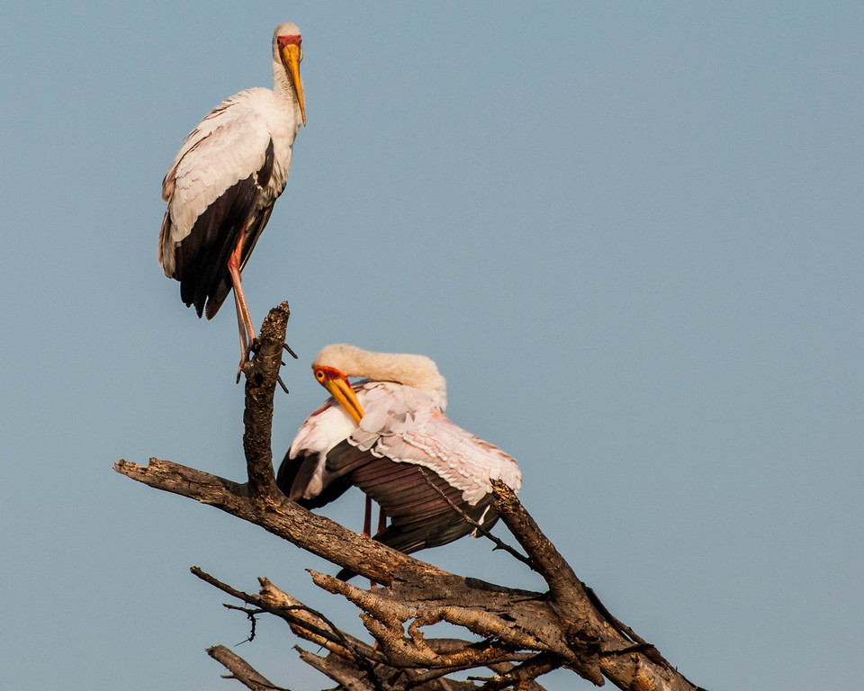 Yellow-billed Storks<br /> <br /> I'm going to post a series of three of these birds.  Big guy standing is the male; the female is preening.  That's important for the next shot.   I took the pictures on safari in Kenya.