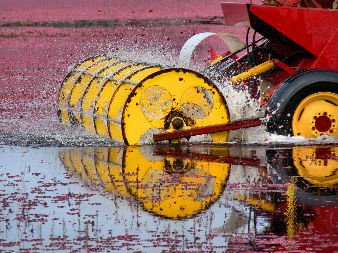 "Boy, did I learn a lot about cranberries and cranberry harvesting this week end. Here's the gallery, as promised... <a href=""http://hocusfocusd70.smugmug.com/Journalism/Cranberries-Cranberries/10218246_av7er#704369742_n2WfZ"">http://hocusfocusd70.smugmug.com/Journalism/Cranberries-Cranberries/10218246_av7er#704369742_n2WfZ</a>   The folks who were harvesting this bog, here in Lakeville, were so nice. The even let me go up onto their big machine (kind of like a boom) to get photographs of the bog from up above. I'll put some up a little later. This machine is called a picker. It goes through the bog and gently beats on the cranberry plants to loosen the berries. In this photo, you can see them spraying up  into the air with all the water ."