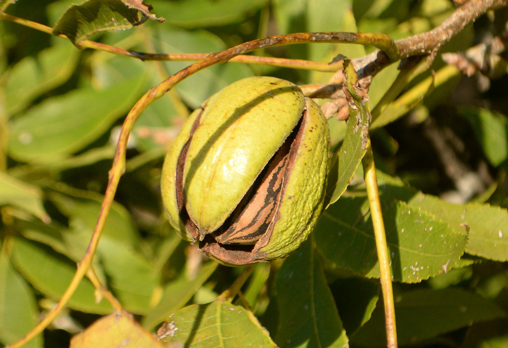 Good enough to eat<br /> <br /> Pecan on a tree in my front lawn.