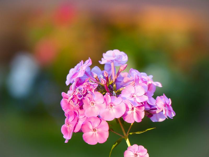 Happy Monday!<br /> Pink tall phlox in my backyard.