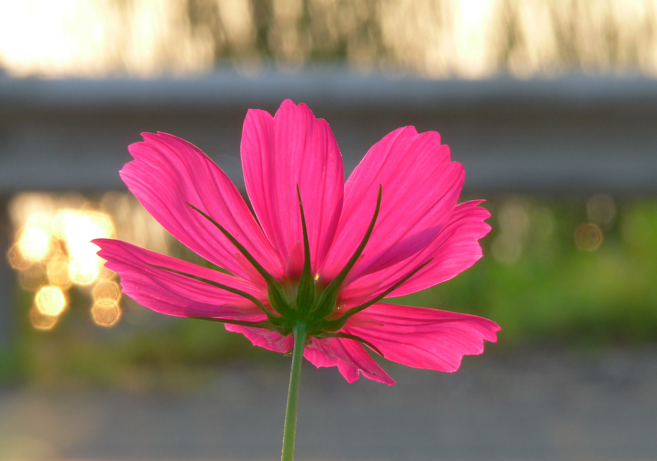 "August 4, 2009<br /> Sunrise cosmos. I went out for the sunrise this morning and it was well worth it! I've forgotten how beautiful they are as we've had so few non-cloudy days here lately. This should brighten your day!<br /> Just after this, the fog rolled in. I went to a few different locations over the course of the two hours I was out. Today, once again, calls upon the use of my alternates gallery...and it's not a flower!  <a href=""http://hocusfocusd70.smugmug.com/gallery/8095536_9i72c#610766682_7rWgE"">http://hocusfocusd70.smugmug.com/gallery/8095536_9i72c#610766682_7rWgE</a>"