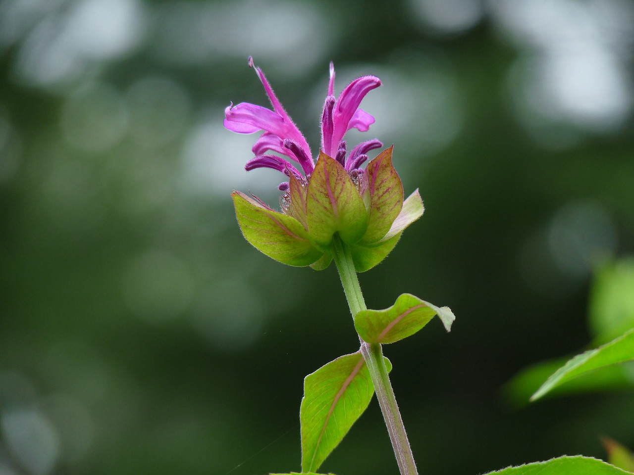 "The Monarda (or Bee Balm) has started to open. You know what that means, don'tcha? The butterflies are on their way!<br /> <br /> PS.....does this qualify as ""bokeh""?"