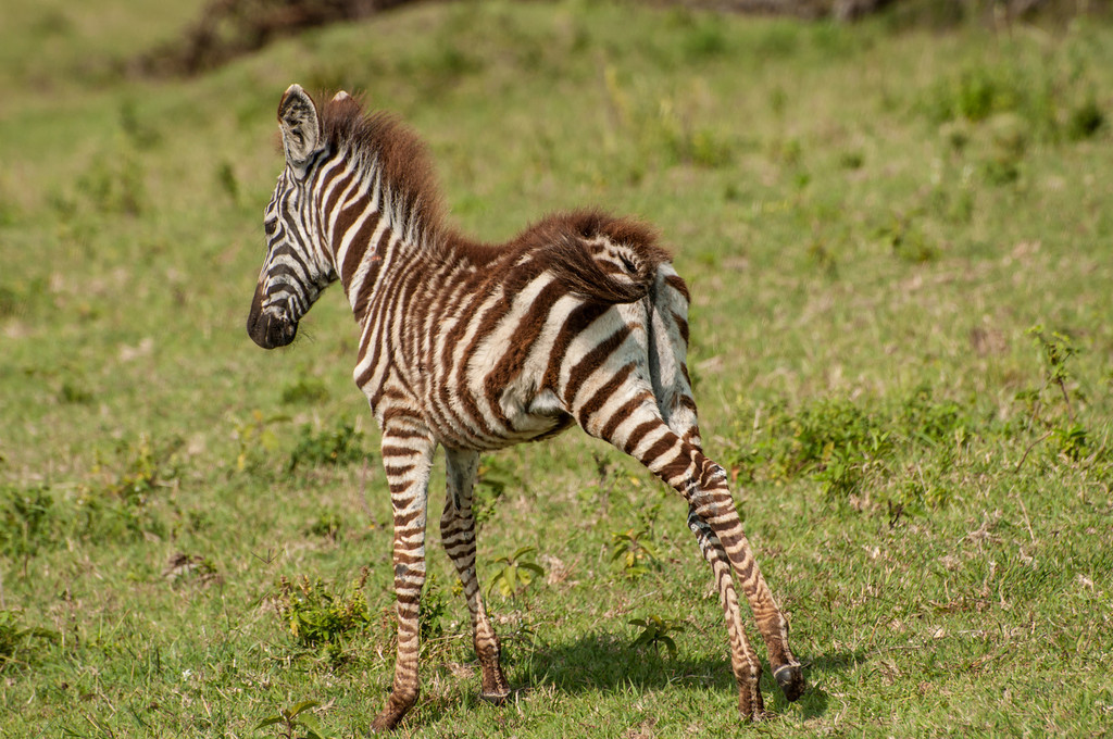 Baby Zebra<br /> <br /> My alternate for Z day.  This young fellow was a bit wobbly when he got up, but off he went to his mom.