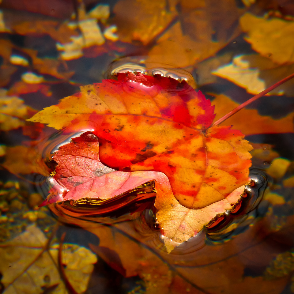 "Lake Assawompsett<br /> Lakeville, Ma<br /> There was a big, colorful maple tree looming over the shoreline here and just underneath it, I found a little tucked away spot where there were quite a few leaves floating around like this. I'm sure there won't be a leaf left on a tree anywhere in sight after Sandy tears the place up tomorrow. It was a very fast year of foliage. I can't believe it's over and soon we'll all be posting snow pics again!<br /> PS...looks like I missed the ""pink memo""..."