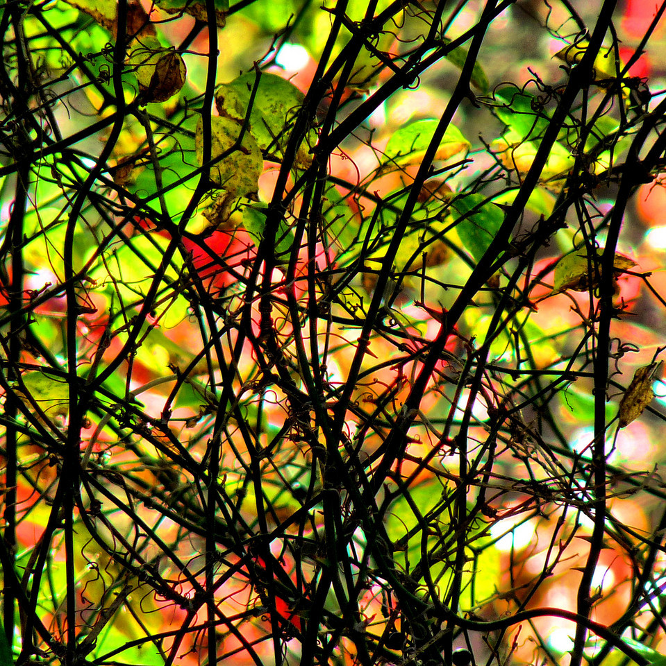 Thorny vine.<br /> I thought this looks like stained glass. It's the view looking through the knarled mass of thorns into the adjacent wetlands of Elder's Pond. Another road-side shooting, if you will.