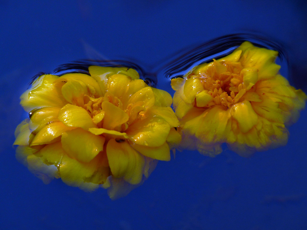 "Marigold heads floating in the wheelbarrow. I sort of felt bad for the marigold plants tucked into the back of the garden where no one goes anymore (their job was to protect the long-dead tomoato plants) still blooming away, unoticed. I thought I'd take the few remaining intact ones and give them a great send off!<br /> After reading a few comments....this is pretty much SOOC with the exception of a crop and histogram blowouts decreased. <br /> BTW...the Cranberry Gallery is up. I think it turned out pretty good. Here's the link~ <a href=""http://hocusfocusd70.smugmug.com/Journalism/Cranberries-Cranberries/10218246_av7er#704369742_n2WfZ"">http://hocusfocusd70.smugmug.com/Journalism/Cranberries-Cranberries/10218246_av7er#704369742_n2WfZ</a>"