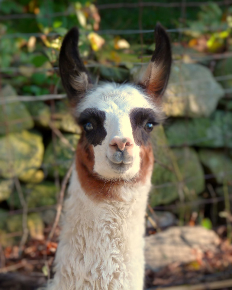 Baby Llama<br /> I'm putting together a book of farm animals for my little grand-niece, Charlotte's, Christmas present. She will especially like this picture as she goes to visit this cute little llama at the farm. I usually give her books of my children's favorites but, I thought I'd make it more personal. She loves books and she loves animals. She also loves airplanes (I mean really loves!!) but, they're just not as cute to shoot. ;-)