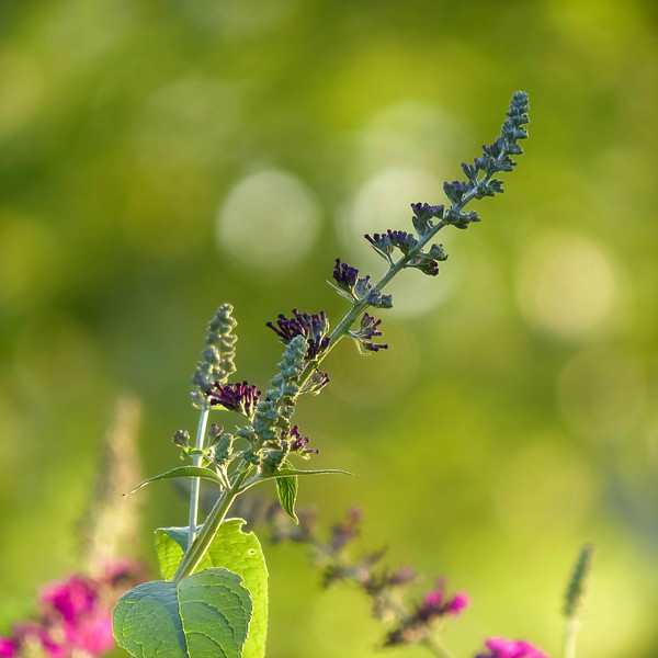There's that certain time of day when the light is so pretty that even dullest of things look beautiful.<br /> Butterfly Bush from the Domicile at Nottingham.