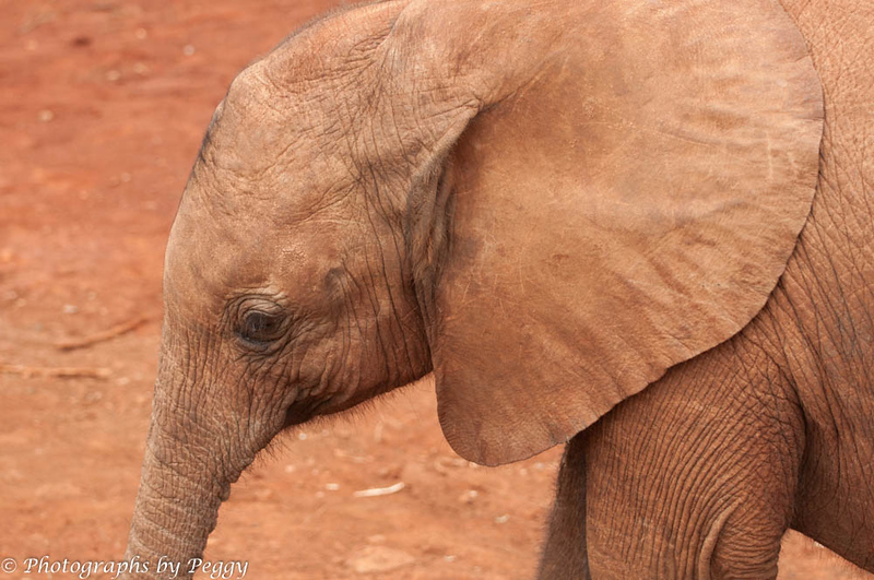 I came across pictures I took at the Sheldrick Elephant Orphanage in Nairobi last week.  I had forgotten them.  They are so little and so attached to their handler.  Elephant poaching is horrible.