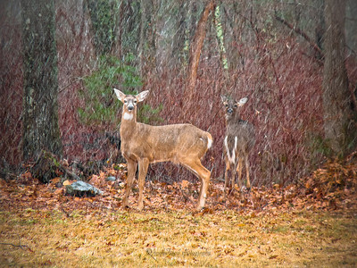 Nelson's Grove Road Lakeville, Ma  This spot has deer quite often. The trick to actually getting a decent shot of them is to have my camera completely ready, every setting set before I get to the field. They spook so fast.