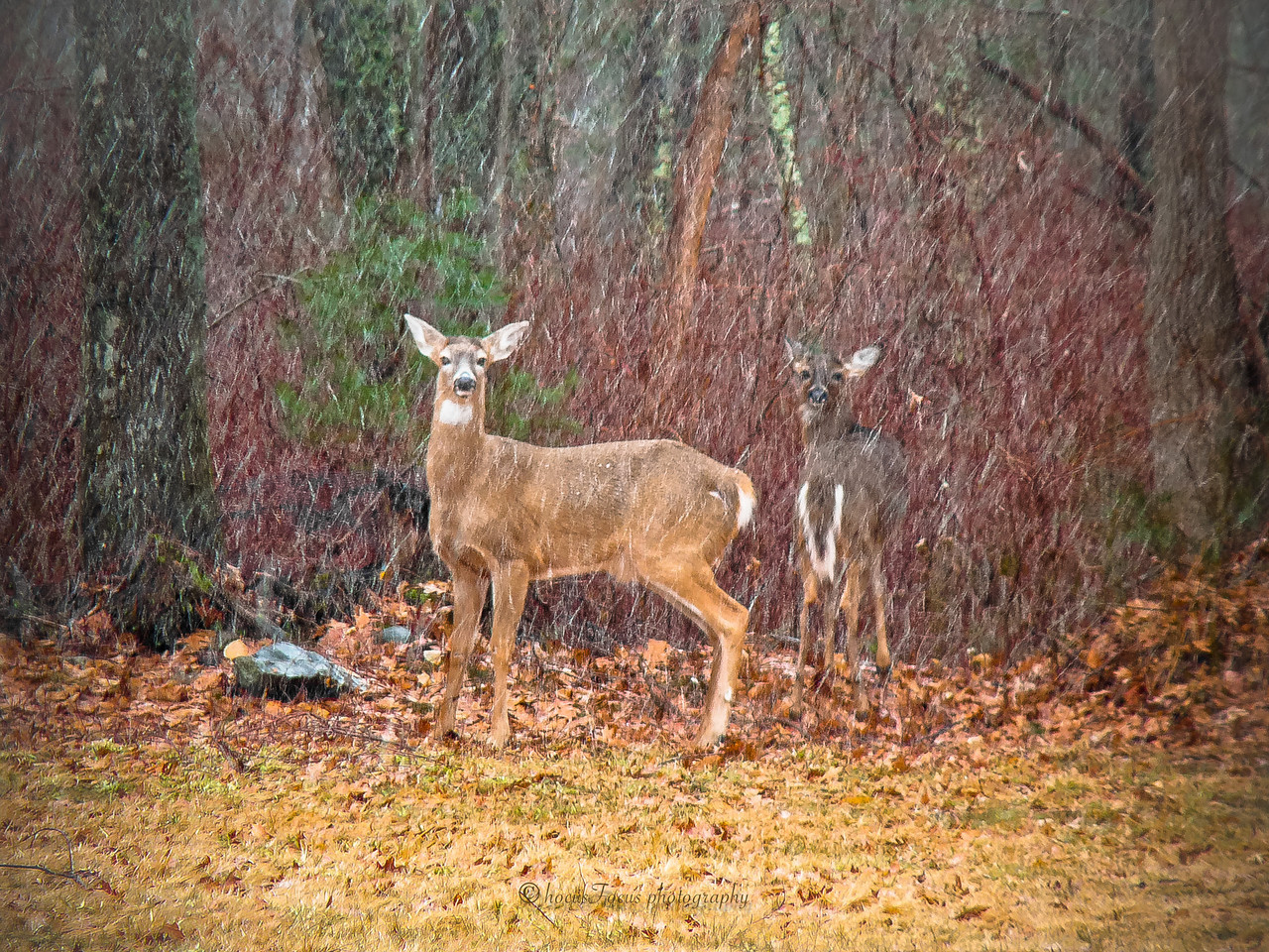 Nelson's Grove Road<br /> Lakeville, Ma<br /> <br /> This spot has deer quite often. The trick to actually getting a decent shot of them is to have my camera completely ready, every setting set before I get to the field. They spook so fast.