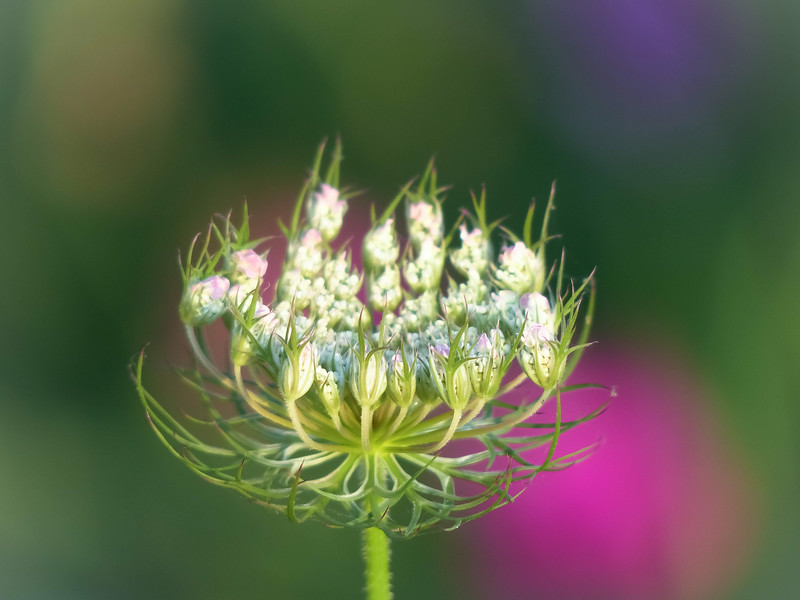 Queen Anne's lace at sunrise<br /> Gray's Beach<br /> Kingston, Ma