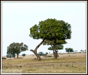 An alternative C  In going through my Kenya archive I found this shot of a tree.  Liked the shape when I took it and still do.