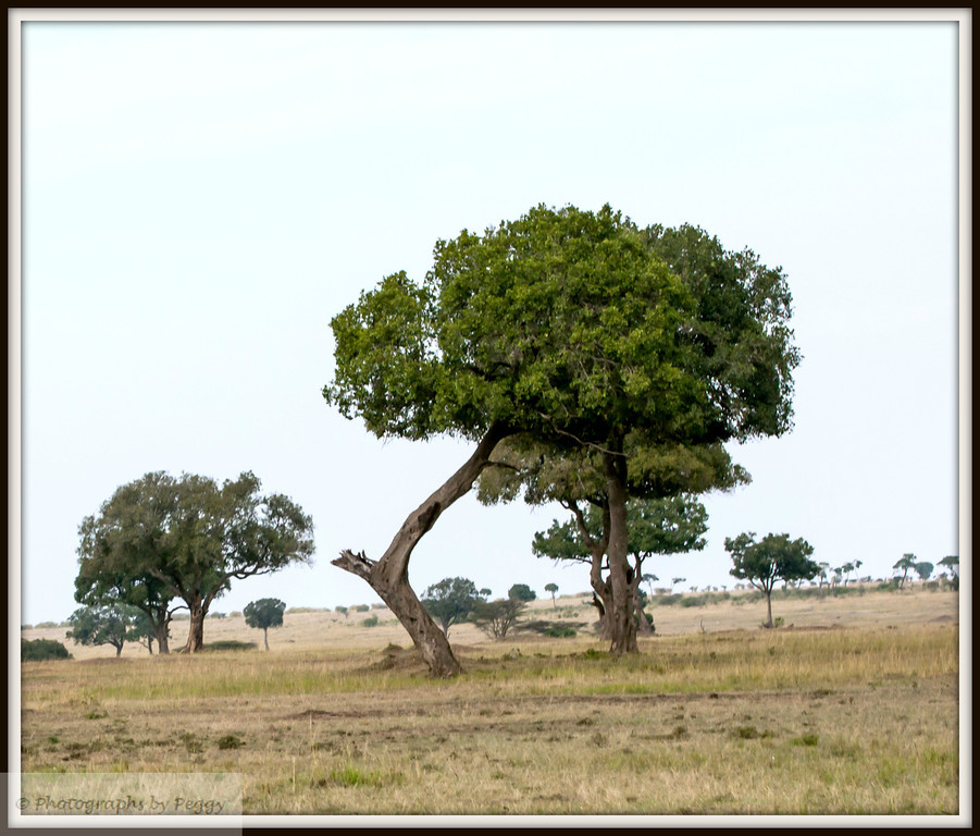 An alternative C<br /> <br /> In going through my Kenya archive I found this shot of a tree.  Liked the shape when I took it and still do.